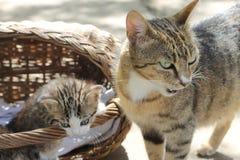 Котята в корзине Стоковое Изображение RF