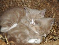 Котята в корзине Стоковое Изображение