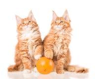 Котята енота Мейна Стоковое Изображение RF