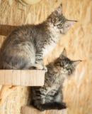 Котята енота Мейна Стоковое Изображение