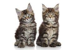 Котята енота Мейна Стоковая Фотография