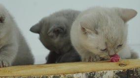 Котята есть сырое мясо сток-видео