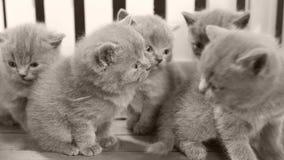 Котята играя в малом дворе, белая загородка британцев Shorthair акции видеоматериалы