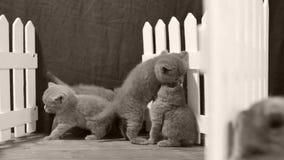 Котята играя в малом дворе, белая загородка британцев Shorthair сток-видео