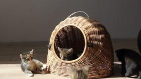 Котята играя и воюя один другого сток-видео