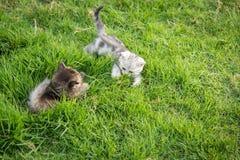 котята играя 2 Стоковая Фотография RF