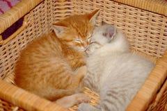 котята корзины Стоковое фото RF