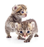 котята малые 2 Стоковые Фотографии RF