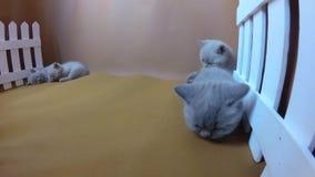 Котята отдыхая на оранжевой предпосылке, белая загородка сток-видео