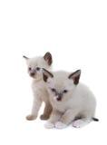 котята сиамские стоковая фотография rf