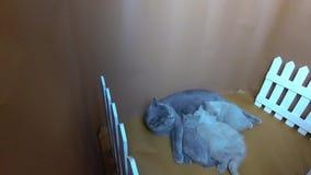 Котята сирени британцев Shorthair голубые подавая, белая загородка акции видеоматериалы