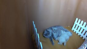 Котята сирени британцев Shorthair голубые подавая, белая загородка видеоматериал