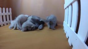 Котята сирени британцев Shorthair голубые подавая, белая загородка сток-видео