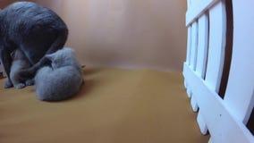 Котята сирени голубого кота британцев Shorthair подавая, белая загородка сток-видео