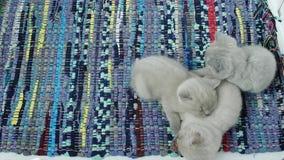 Котята спать на ковре сток-видео