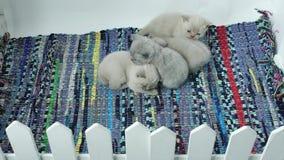 Котята спать на покрашенном обнажанном ковре акции видеоматериалы