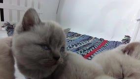 Котята спать на покрашенном обнажанном ковре сток-видео