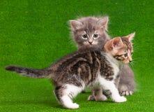 котята славные 2 Стоковые Фотографии RF