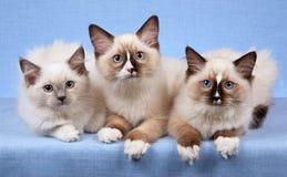 котята с лапок показывая белизну стоковые фото