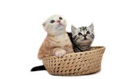 котята шотландские Стоковое Изображение