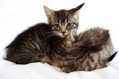 котята 2 Стоковое Изображение RF
