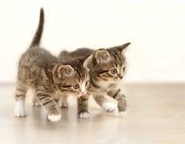 котята Стоковые Фотографии RF