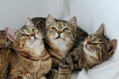котята 3 Стоковое Фото