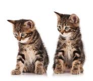 котята siberian Стоковое фото RF