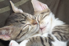 котята striped 2 Стоковое Фото