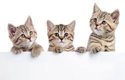3 котят кота peeking из пустого знака, изолированного на белой предпосылке Стоковые Изображения RF