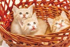 3 котят сидя в конце-вверх корзины стоковая фотография rf