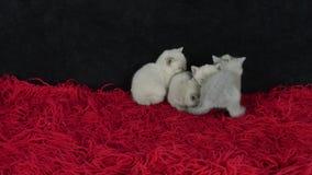 4 котят сидя совместно на ковре видеоматериал