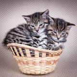 2 котят сидя в корзине совместно Стоковая Фотография