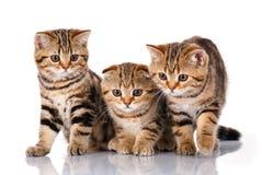 3 котят сидя на белой предпосылке Стоковые Изображения RF