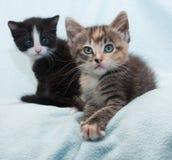 2 котят, черный и tricolor на сини Стоковое фото RF