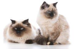 2 котят Ragdoll Стоковое Изображение
