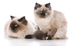 2 котят Ragdoll Стоковые Изображения RF