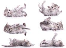6 котят Scottish tabby Стоковые Изображения