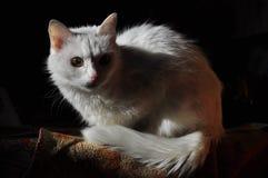 кот альбиноса Стоковая Фотография