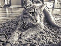 Кот дамы Стоковое Изображение RF