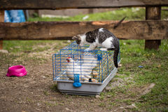Кот атакованный цыпленком Стоковое фото RF