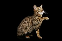 кот Бенгалии стоковые фото