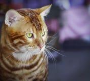 кот Бенгалии Стоковое Фото