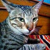 кот Бенгалии стоковое изображение rf