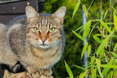 Кот Брайна с зелеными глазами Кот Брайна на зеленой траве коричневая влюбленность иллюстрации сердца кота Портрет кота Брайна Стоковая Фотография
