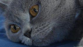 Кот британцев Shorthair взрослый, изолированный портрет акции видеоматериалы