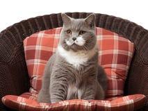 Кот британцев Shorthair на стуле Стоковые Изображения RF
