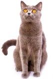 Кот великобританского shorthair серый при яркие глаза желтого цвета изолированные на a Стоковые Изображения