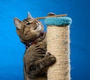 Кот взбирается вверх на царапая штендере для того чтобы получить обслуживания кота Стоковая Фотография RF