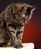 кот вниз смотря tabby Стоковая Фотография